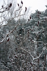 Clsoe up of the reddish fruit of the female sumac tree in winter. Rhus typhina, the staghorn sumac. Poland, Europe