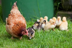 Clucking hen with little ducks - It's the mother! Motherly love