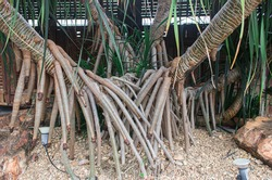 Clump and Aerial roots of Seashore Screwpine (Pandanus Odorifer) are growing in the tropical ornamental garden