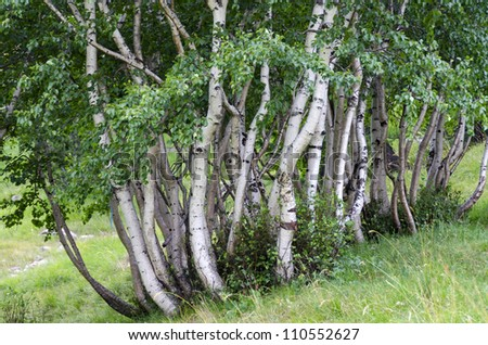 clump of birch trees in Italy