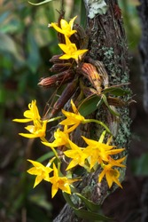clump of orchid wild flowers on timber in rainforest with nature background