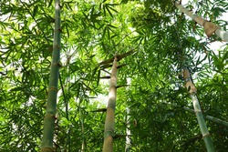 Clumps of bamboo, young stems and green leaves