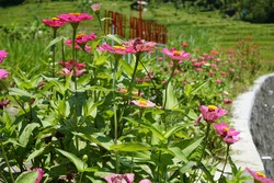 Clumps of unhealthy Zinnia peruviana flowers with fungus Alternaria zinniae dark circular leaf spot disease on the leaves and some flowers similar to Xanthomonas caused by bacterial pathogen infection