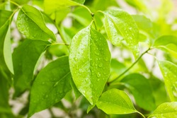 Cluse up water drop on Leaf of Cinnamomum camphora tree