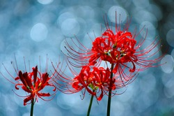 Cluster amaryllis blooming on the riverside, beautiful reflection of light