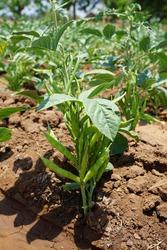 Cluster Bean Plant Manufacturer  pots