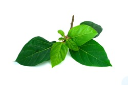 Cluster Fig Branch Isolated on white background