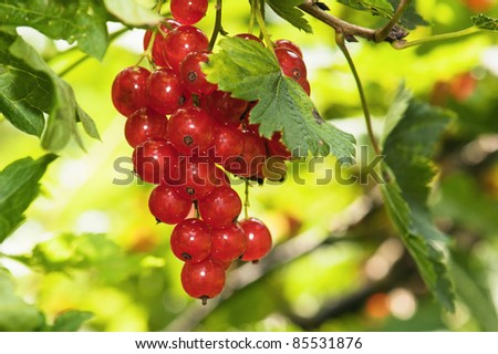 Cluster of a red currant on a branch