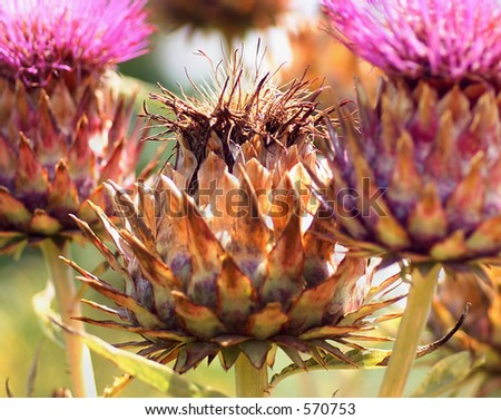Cluster of Artichoke flowers