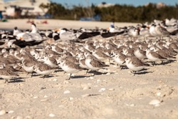 Cluster of black bellied plovers Pluvialis squatarola birds on the white sands of Clam Pass in Naples, Florida.