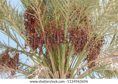 cluster of dates, hanging with dates palm tree in Abu Dhabi #1124963696