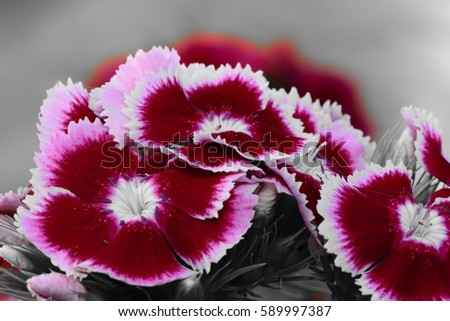 cluster of dianthus flowers color splash #589997387