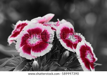 cluster of dianthus flowers color splash #589997390