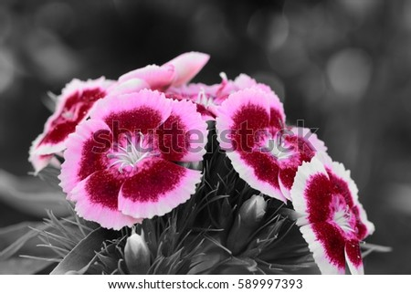 cluster of dianthus flowers color splash #589997393
