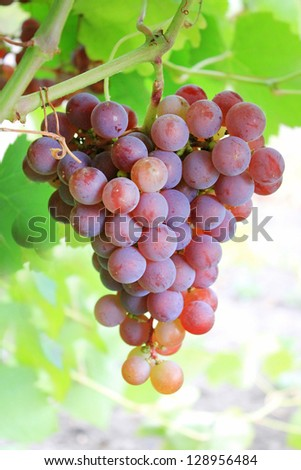 Cluster of fresh ripe red grape with leaves in the garden ready to be harvested