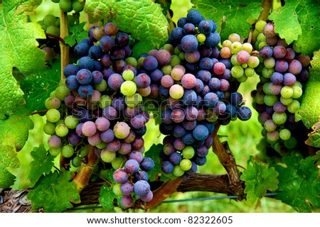 Cluster of grapes in Virginia vineyard ripening as harvest approaches