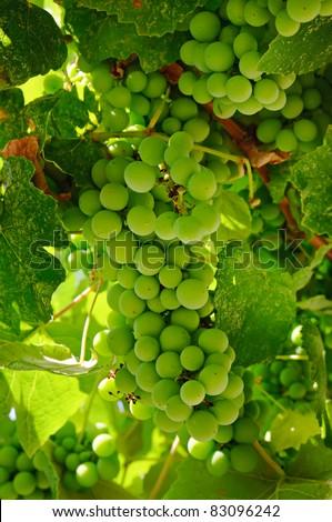 Cluster of green grape growing in vineyard