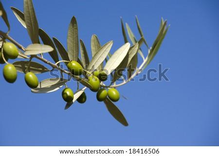 cluster of olives