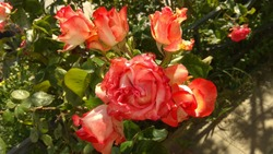 Cluster of opening tricolor, red-white-orange roses on a shrub, growing in a flower bed in the street. Luxuriant, tricolour, red-orange-white roses in spring. Bicolour, Orangish red-white rose cluster