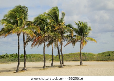 Cluster of Palm Trees on Miami's South Beach