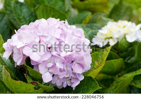 Cluster of pink hydrangea flowers blooming in flower garden