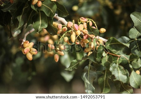 Cluster of pistachio fruits in summertime yellow red colors on tree branch branch #1492053791