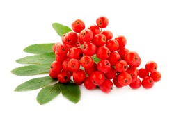 Cluster of red rowan berries isolated on white background. Red cluster of rowan berries with green leaves isolated on white background. Ripe red rowan bunch isolated on white.