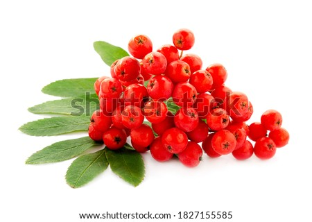 Photo of  Cluster of red rowan berries isolated on white background. Red cluster of rowan berries with green leaves isolated on white background. Ripe red rowan bunch isolated on white.