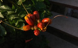 Cluster of reddish orange campsis flower buds at the end of a branch, hanging over the stairs in the morning sunlight. Tecoma red-orange buds at the end of a leafy branch hanging over the dark stairs.