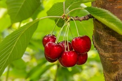 cluster of ripe cherries on cherry tree