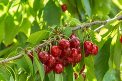 cluster of ripe dark red Stella cherries hanging on cherry tree branch with green leaves and blurred background