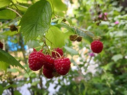 Cluster of ripe red raspberries with green leaves in the background of ripe and unripe raspberries, leaves and flowers