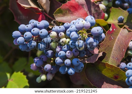 Cluster of ripening wild grapes