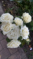 Cluster of ruffle, greenish white roses on a rose shrub hanging over a flagstone pathway. Ruffled, greenish white roses, having wavy petal edges, growing in a cluster on a prolific rose bush.