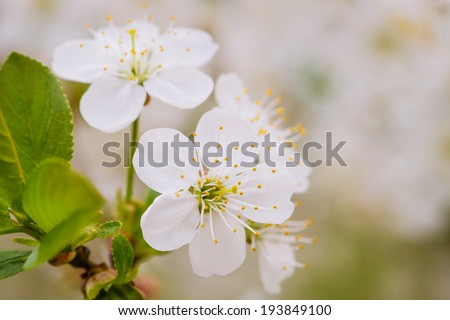 Cluster of white cherry flowers. A cluster of cherry flowers and green leaves against the blurry background of cherry flowers.