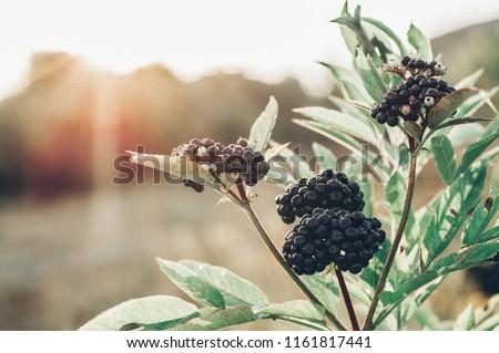 Clusters fruit black elderberry in garden in sun light (Sambucus nigra). Common names: elder, black elder, European elder, European elderberry and European black elderberry. - Shutterstock ID 1161817441