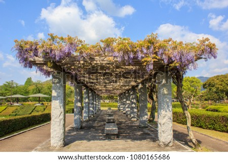 Clusters of beautiful, bluish lilac Japanese wisteria flowers in full bloom hang down from the wooden open frame roof of an arbor in a park under a blue sky with white clouds in the spring in Japan.