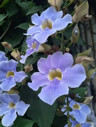 Clusters of flowers of Blue Sky Vine, Thunbergia grandiflora. It's a popular tropical vine that is easy, reliable, has excellent flower power and it can be grown as a die-back perennial.