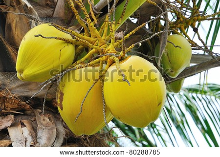 Clusters of freen coconuts close-up hanging on palm tree
