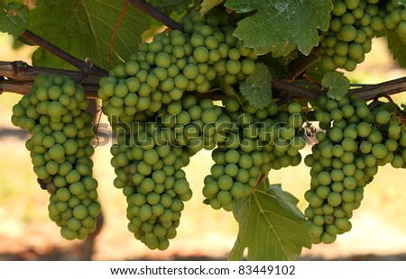 Clusters of growing green grapes on a vineyard in Canada