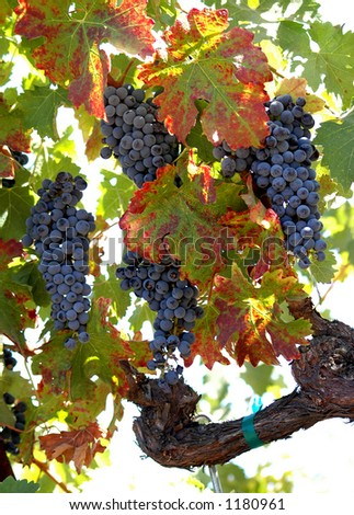 Clusters of red wine Zinfandel grapes hanging from the vine.