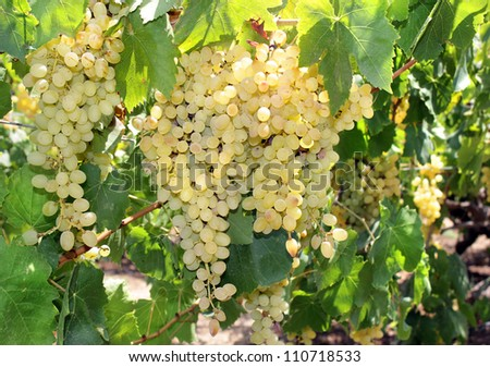 clusters of ripe green grapes before harvesting