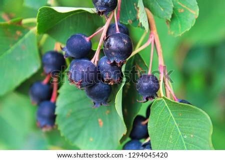 Clusters of ripe saskatoon berries hanging in summer #1294045420