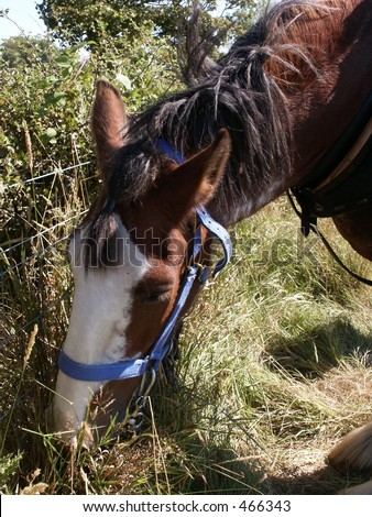Clydesdale Horse Eating
