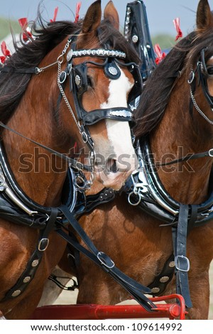 Clydesdale horses - stock photo