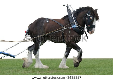 Clydesdale in Harness with Clipping Path