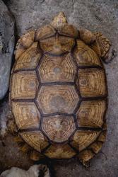 Coahuilan box turtle in the tropic garden. Terrapene Coahuila. Animals