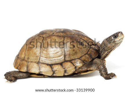 Coahuilan Box Turtle Terrapene Coahuila isolated on white background.