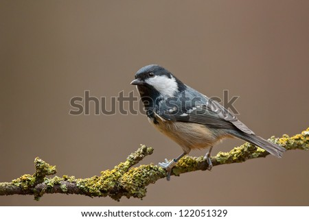 Coal tit on a twig (Periparus ater)