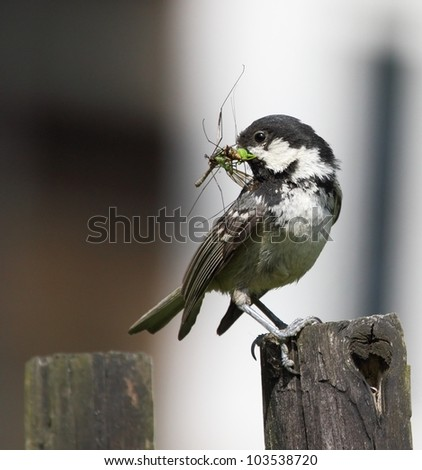 Coal tit on a wooden fence.